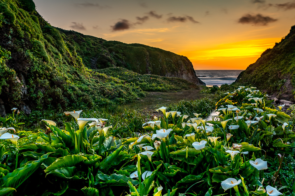 Calla-Lillies-at-Garapata-Beach