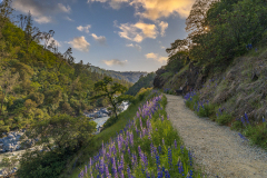 Lupines on the Yuba