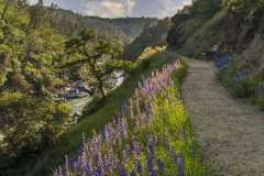 Lupines on the path